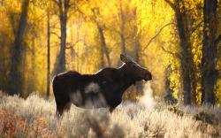 HD Wallpaper   Background ID:401366. 1920x1200 Animal Moose