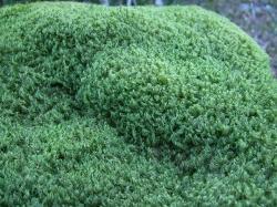 File:Broom moss (Orphan Lk) 2.JPG
