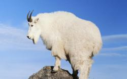 Desktop Wallpaper · Gallery · Animals Mountain Goat