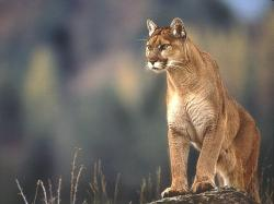 Mountain Lion Wallpaper