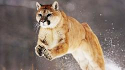 Terrific Mountain Lion Animal Jump in Snow Field Hd Wallpaper 1920x1080px