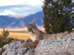 Mountain Lions 11 Wallpaper HD