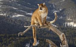 Mountain Lion Wallpaper · Mountain Lion Wallpaper ...