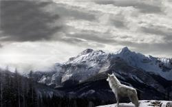 Mountains Gray Wolf