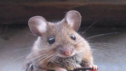 Cute Mouse Picture
