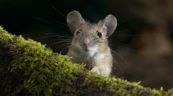 Little Mouse Wallpaper 21896