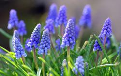 3840x2400 Wallpaper muscari, flowers, leaves, spring, nature