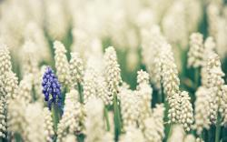 Muscari Flowers Field Nature
