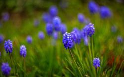 Muscari Flowers 28464