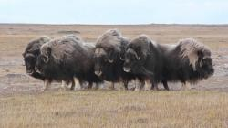 Musk oxen in characteristic defensive ring