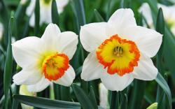 Narcissus Macro