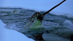 World's Weirdest - Narwhals