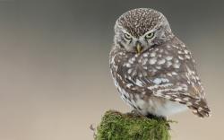 Owl nasty look