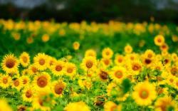 Sunflowers Summer Nature