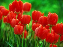 Desktop Wallpaper · Gallery · Nature Tulip flower bulbs
