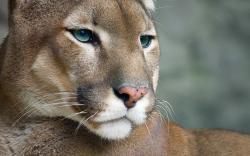 Nice Cougar