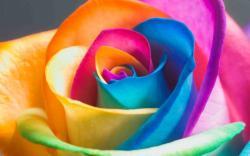 Interesting Nice Colorful Rose Hd Wallpaper