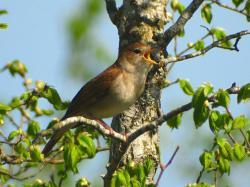 Superb nightingale