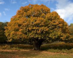 Common Name: Oak Scientific Name: Quercus species. Family: Fagaceae (the Beech family)