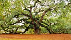 Oak Tree 32961
