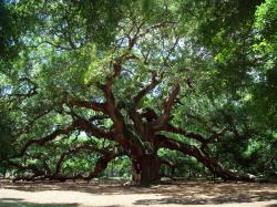 Angel Oak in March 2010; The man standing under the tree is 5 feet 11 inches (180 centimeters) tall.