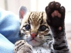 Baby ocelot wants to hi-five you.