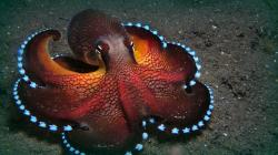 The Maldives octopuses