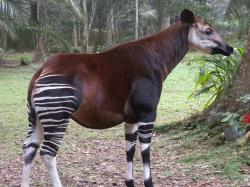 ... Endemic Okapi - DRC | by UNEP Disasters & Conflicts