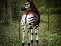 A tame okapi at the Epulu center.