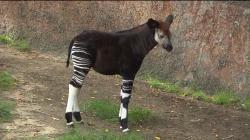 The Los Angeles Zoo showed off its first newborn okapi three months after its birth. (Credit: KTLA)