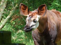 Okapi by DiveEleanorDive ...