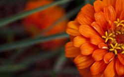 Orange Flower HD 10458