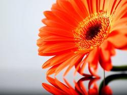Orange Sunflower - flowers Wallpaper