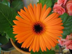 File:Orange gerbera.jpg
