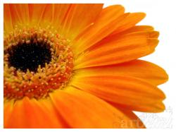 orange gerberas by artFETISH ...
