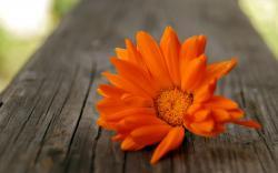 flowers macro orange
