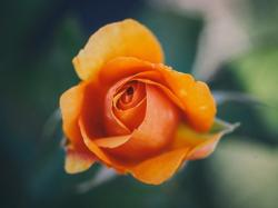 Description: The Wallpaper above is Orange rose macro Wallpaper in Resolution 1280x960. Choose your Resolution and Download Orange rose macro Wallpaper