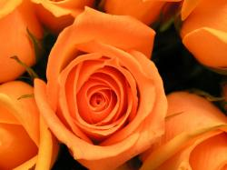 Orange Roses Wallpaper Download Wallpapers 1600x1200px