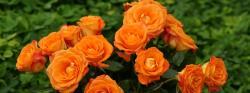 Orange roses - Dual screen wallpaper