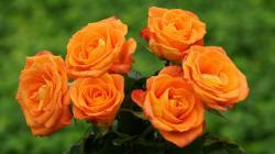 rose wallpaper hdtv 1920x1080 Orange ...
