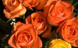 Flowers Orange Roses