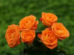 Orange Roses Wallpaper