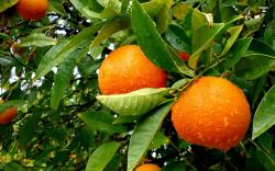 Orange Tree Wallpaper 33490 2560x1600 px