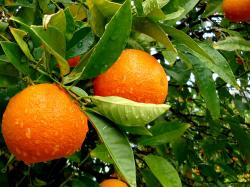 awesome orange tree wallpaper