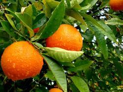 awesome orange tree wallpaper