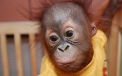 Orangutan baby 1