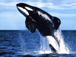 The killer whale (Orcinus orca), commonly referred to as the orca whale or orca, and less commonly as the blackfish, is a toothed whale belonging to the ...