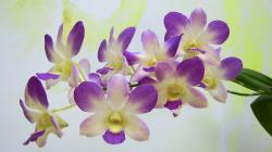 Orchids Wallpaper Orchids Wallpaper
