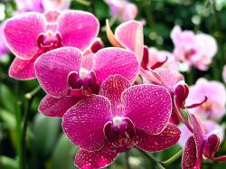 Orchids should be watered only when they become dry but you can mist greenhouse after every three days to maintain humidity level.