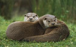 Animal Otter Wallpaper Px Free Download Wallpaperest